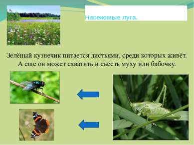 Насекомые луга. Зелёный кузнечик питается листьями, среди которых живёт. А ещ...