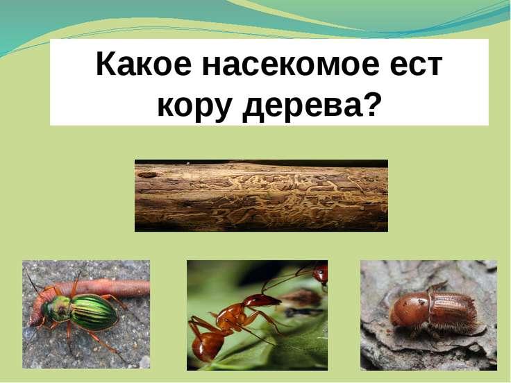 Какое насекомое ест кору дерева?