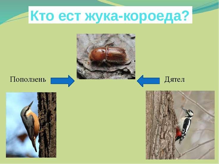 Кто ест жука-короеда? Поползень Дятел