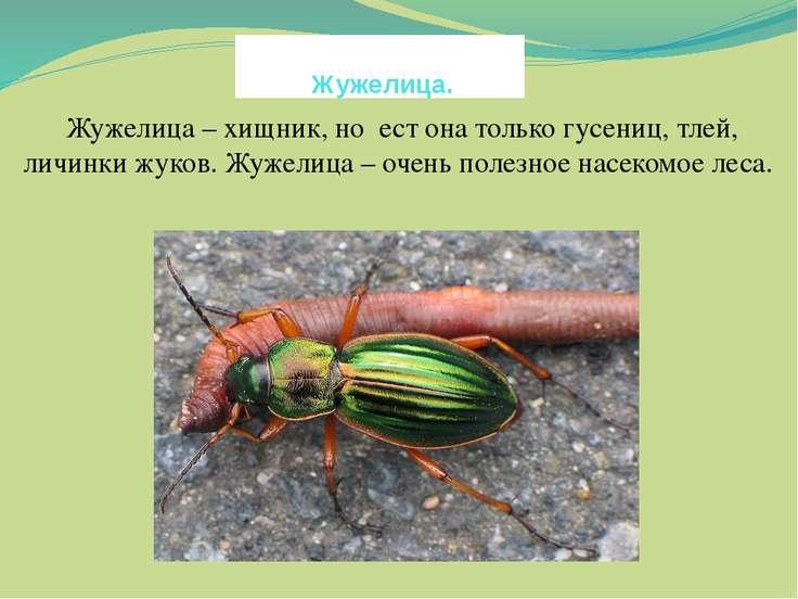 Жужелица. Жужелица – хищник, но ест она только гусениц, тлей, личинки жуков. ...