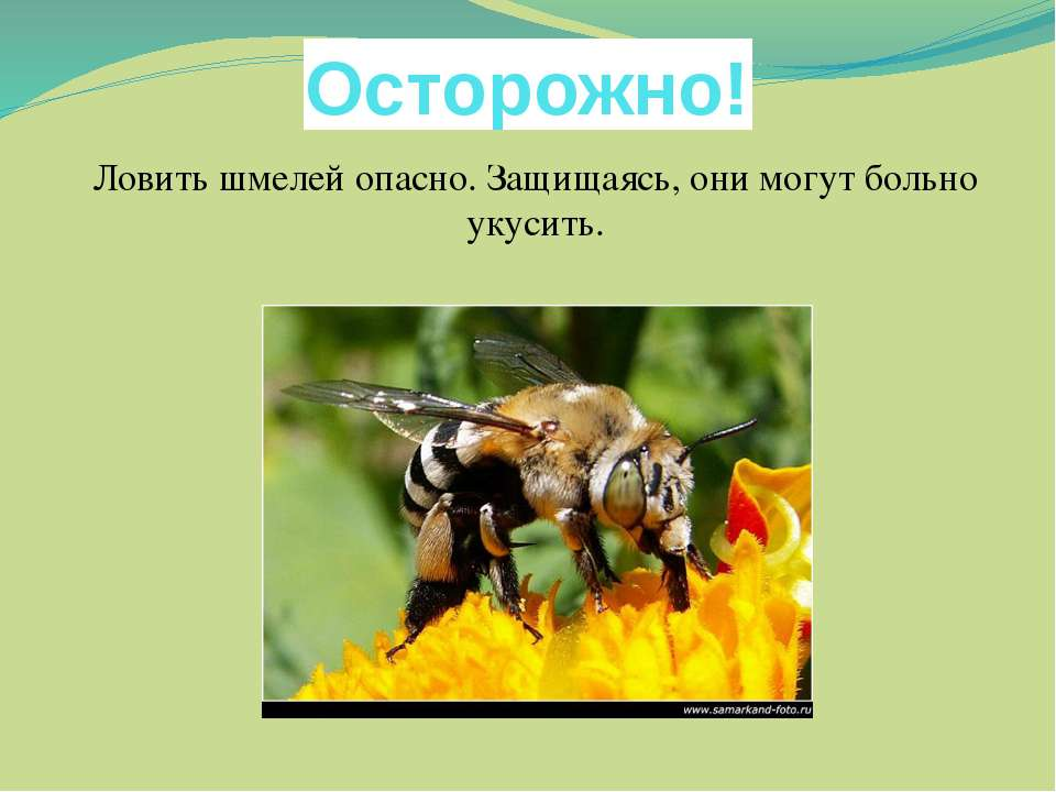 Осторожно! Ловить шмелей опасно. Защищаясь, они могут больно укусить.