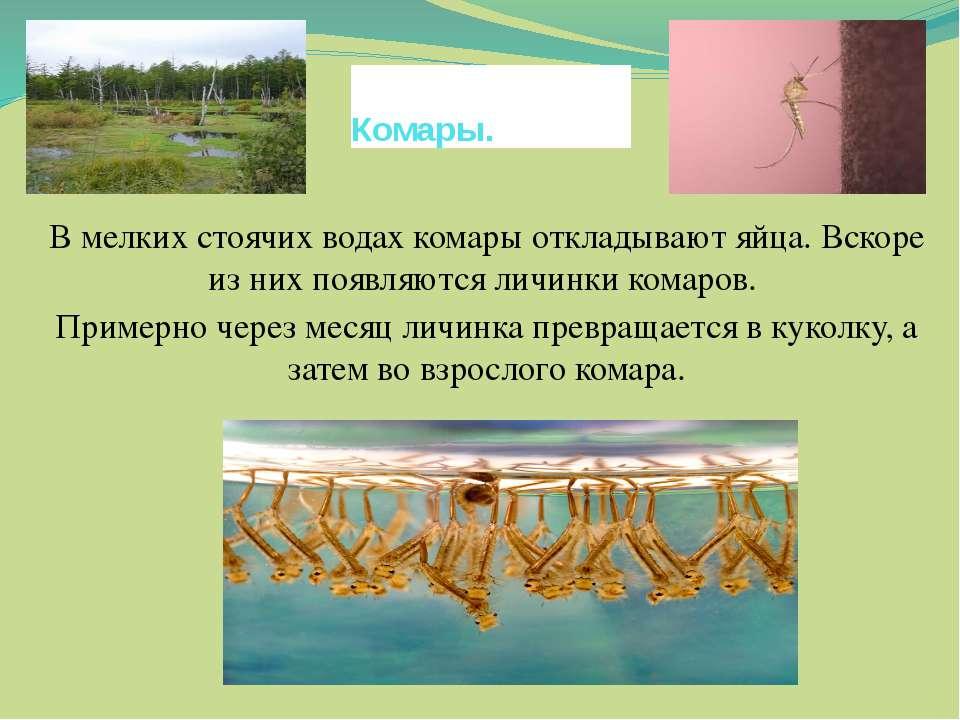 В мелких стоячих водах комары откладывают яйца. Вскоре из них появляются личи...