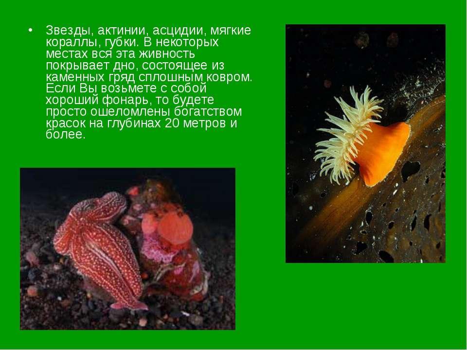 Звезды, актинии, асцидии, мягкие кораллы, губки. В некоторых местах вся эта ж...