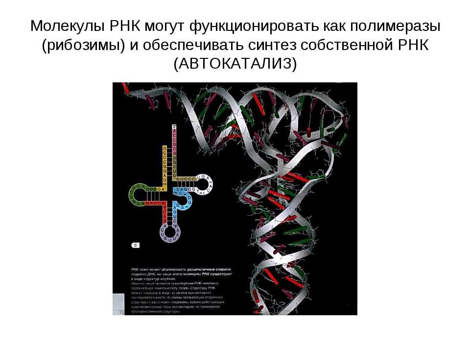 Молекулы РНК могут функционировать как полимеразы (рибозимы) и обеспечивать с...