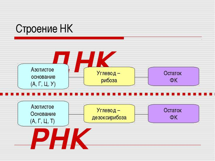 Строение НК Углевод – дезоксирибоза Азотистое Основание (А, Г, Ц, Т) Остаток ...