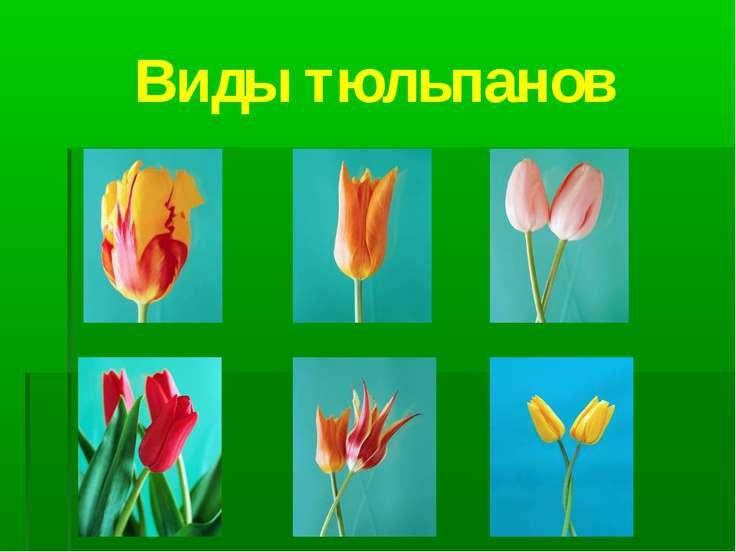 Виды тюльпанов