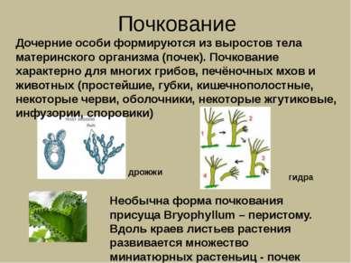 Почкование Необычна форма почкования присуща Bryophyllum – перистому. Вдоль к...