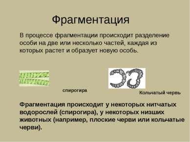 Фрагментация В процессе фрагментации происходит разделение особи на две или н...