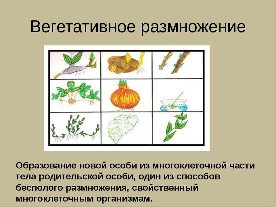 Вегетативное размножение Образование новой особи из многоклеточной части тела...