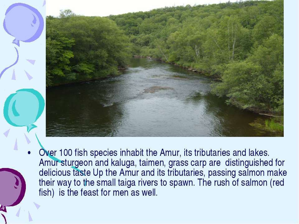 Over 100 fish species inhabit the Amur, its tributaries and lakes. Amur sturg...