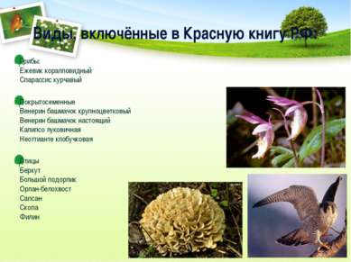 Виды, включённые в Красную книгу РФ: Грибы: Ежевик коралловидный Спарассис ку...