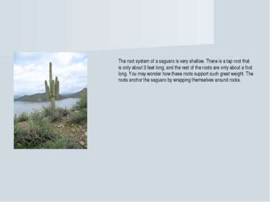 The root system of a saguaro is very shallow. There is a tap root that is onl...