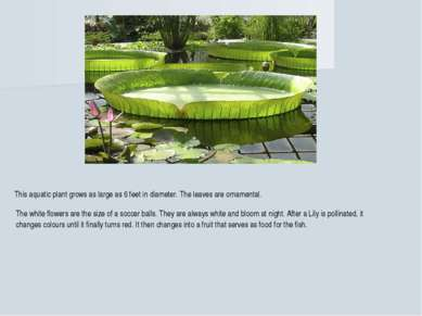 This aquatic plant grows as large as 6 feet in diameter. The leaves are ornam...