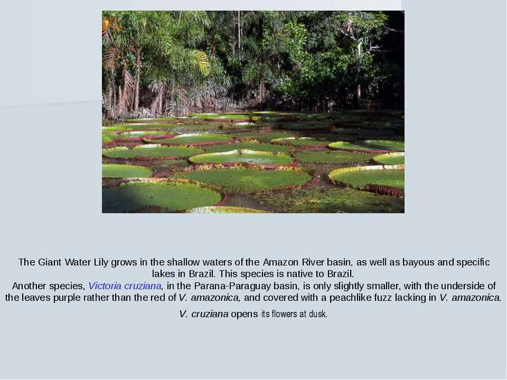 The Giant Water Lily grows in the shallow waters of the Amazon River basin, a...