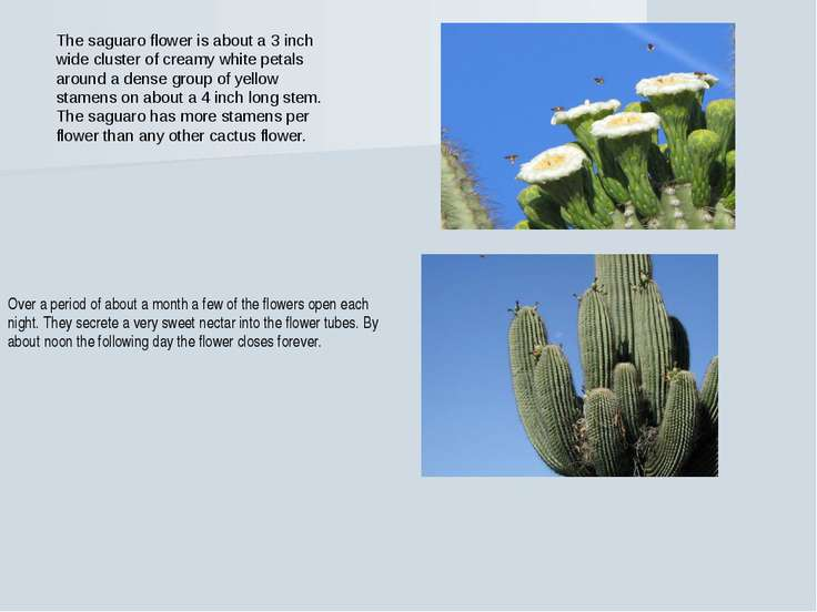 The saguaro flower is about a 3 inch wide cluster of creamy white petals arou...