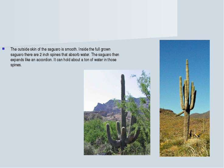 The outside skin of the saguaro is smooth. Inside the full grown saguaro ther...