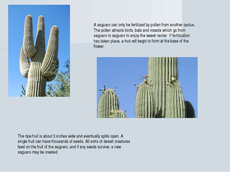 A saguaro can only be fertilized by pollen from another cactus. The pollen at...