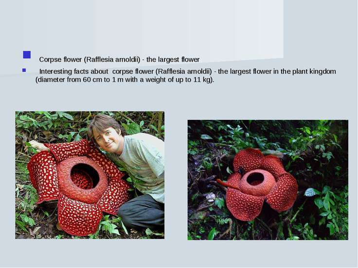 Corpse flower (Rafflesia arnoldii) - the largest flower Interesting facts abo...