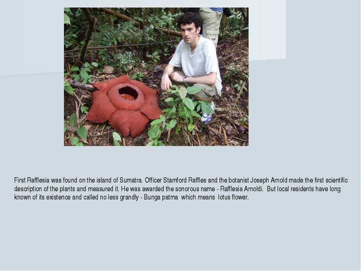First Rafflesia was found on the island of Sumatra. Officer Stamford Raffles ...