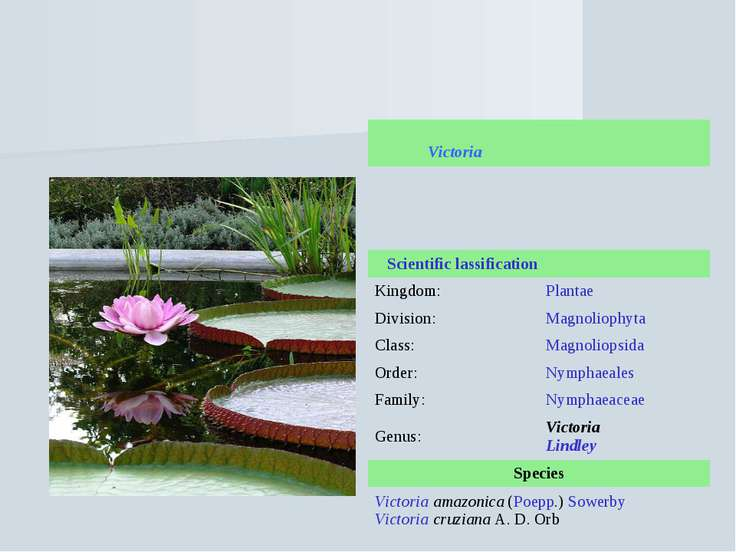 Victoria (waterlily) Victoria Scientific lassification Kingdom: Plantae Divis...