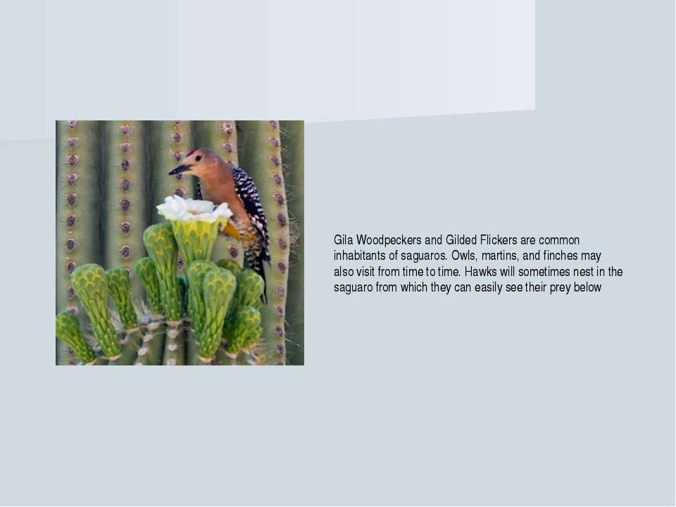 Gila Woodpeckers and Gilded Flickers are common inhabitants of saguaros. Owls...