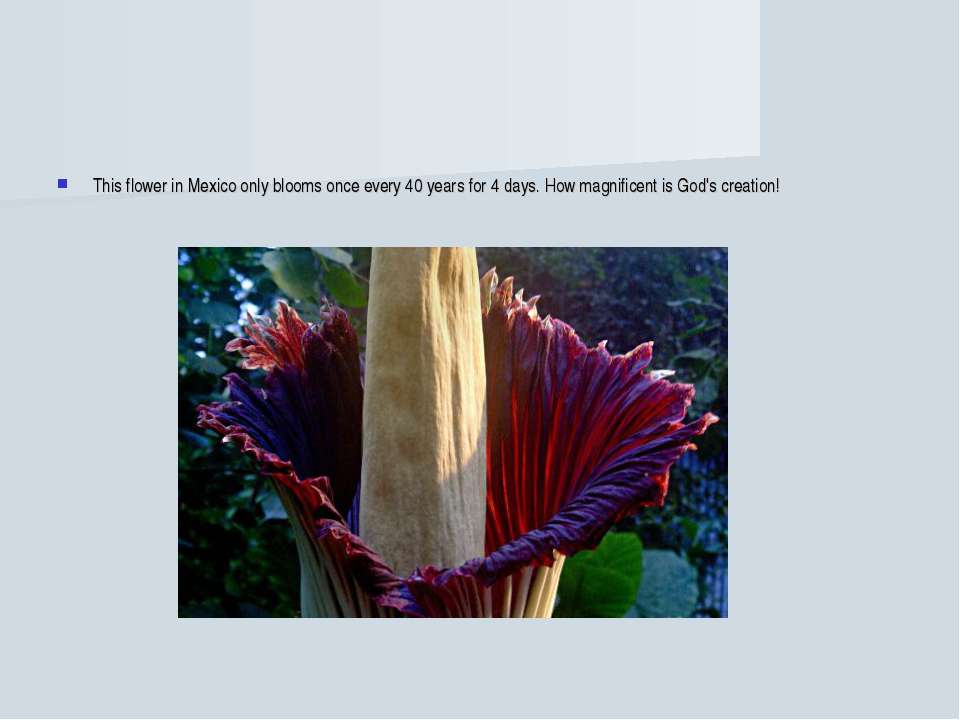 This flower in Mexico only blooms once every 40 years for 4 days. How magnifi...
