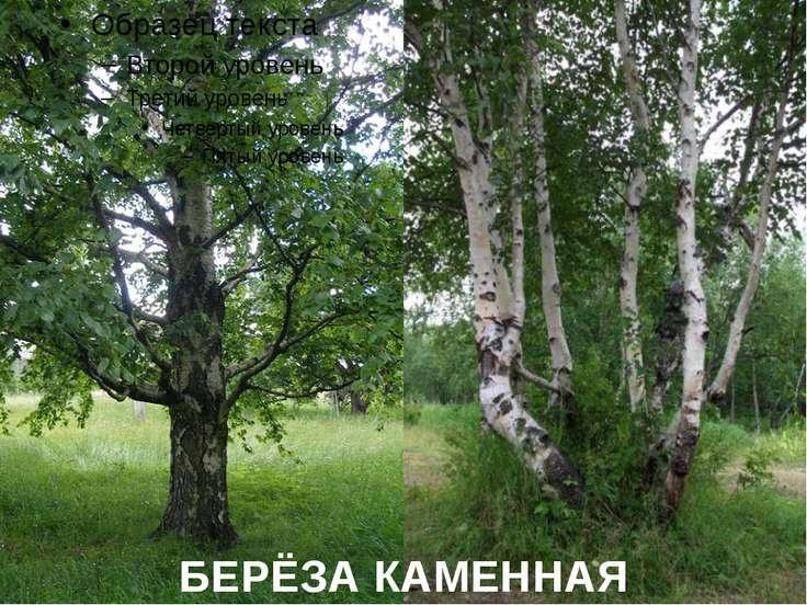 БЕРЁЗА КАМЕННАЯ