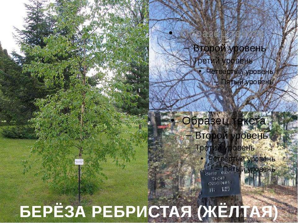 БЕРЁЗА РЕБРИСТАЯ (ЖЁЛТАЯ)