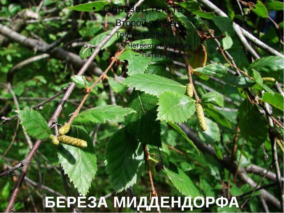 БЕРЁЗА МИДДЕНДОРФА
