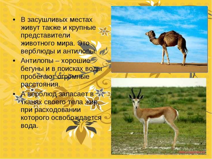 В засушливых местах живут также и крупные представители животного мира. Это в...