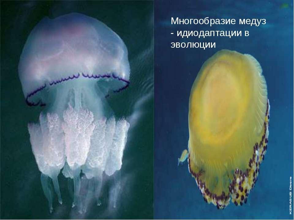 Многообразие медуз - идиодаптации в эволюции