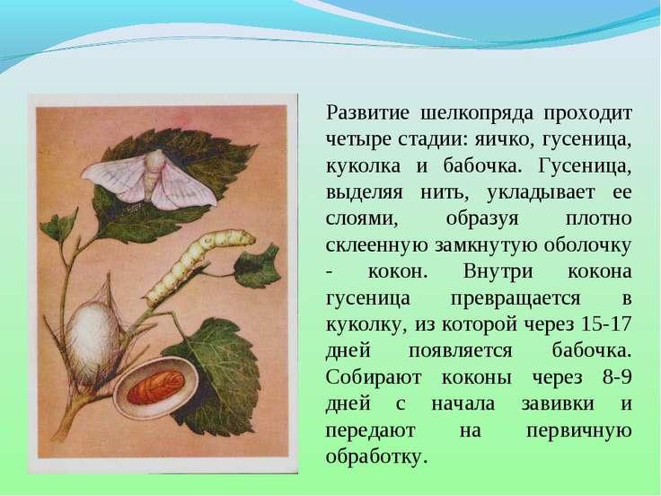 Развитие шелкопряда проходит четыре стадии: яичко, гусеница, куколка и бабочк...