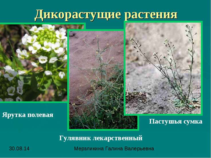 Дикорастущие растения Ярутка полевая Гулявник лекарственный Пастушья сумка Ме...