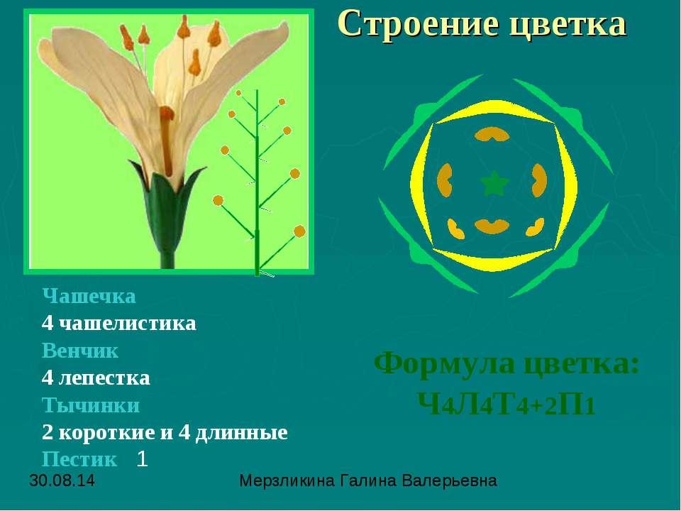 Строение цветка Чашечка 4 чашелистика Венчик 4 лепестка Тычинки 2 короткие и ...