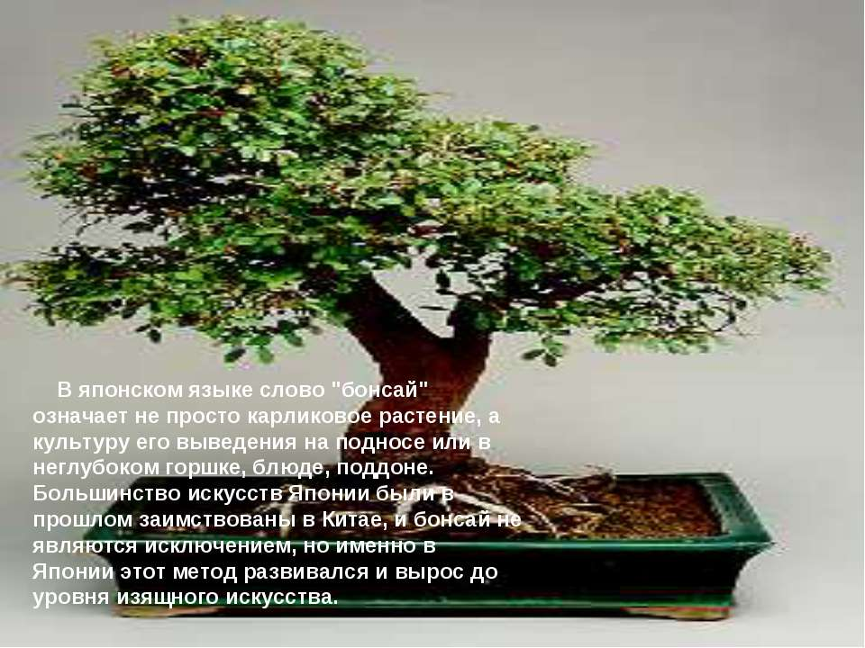 """В японском языке слово """"бонсай"""" означает не просто карликовое растение, а..."""