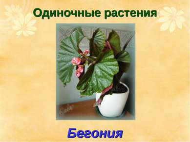Одиночные растения Бегония