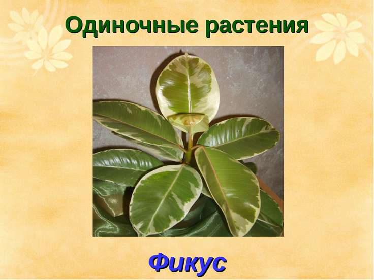 Одиночные растения Фикус
