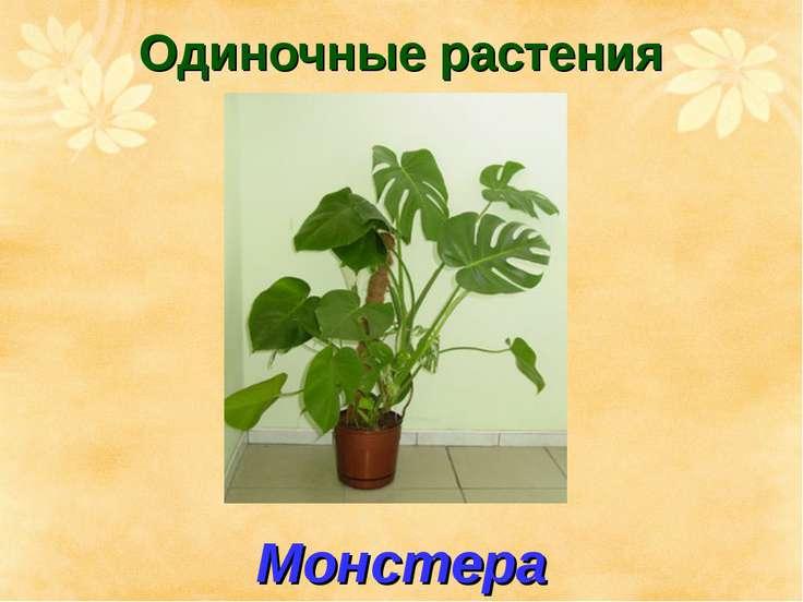 Одиночные растения Монстера