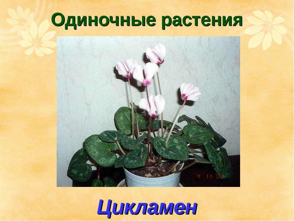 Одиночные растения Цикламен