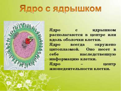 Ядро с ядрышком располагаются в центре или вдоль оболочки клетки. Ядро всегда...
