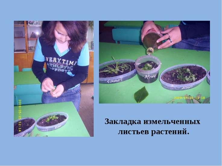 Закладка измельченных листьев растений.