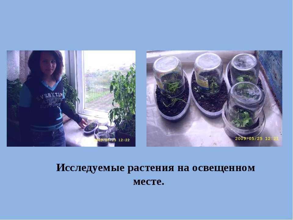 Исследуемые растения на освещенном месте.