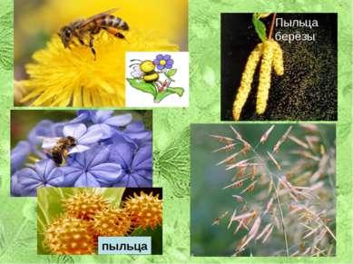 Признаки ветроопыляемых и насекомоопыляемых растений. Признаки Н В 1. Крупные...
