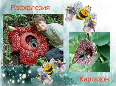 Раффлезия Киргазон
