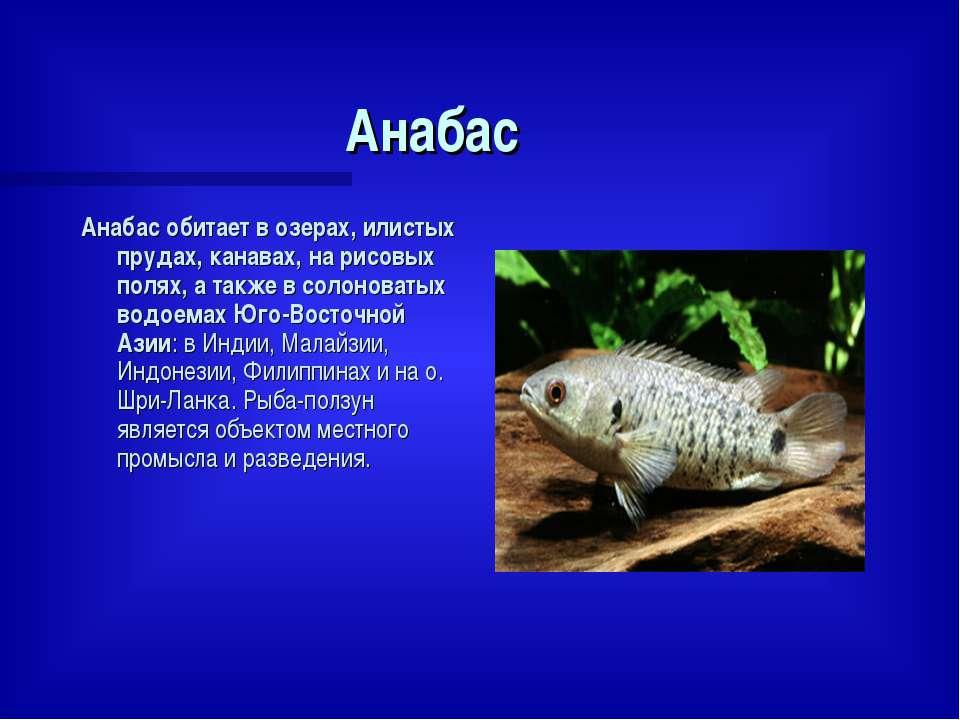 Анабас Анабас обитает в озерах, илистых прудах, канавах, на рисовых полях, а ...