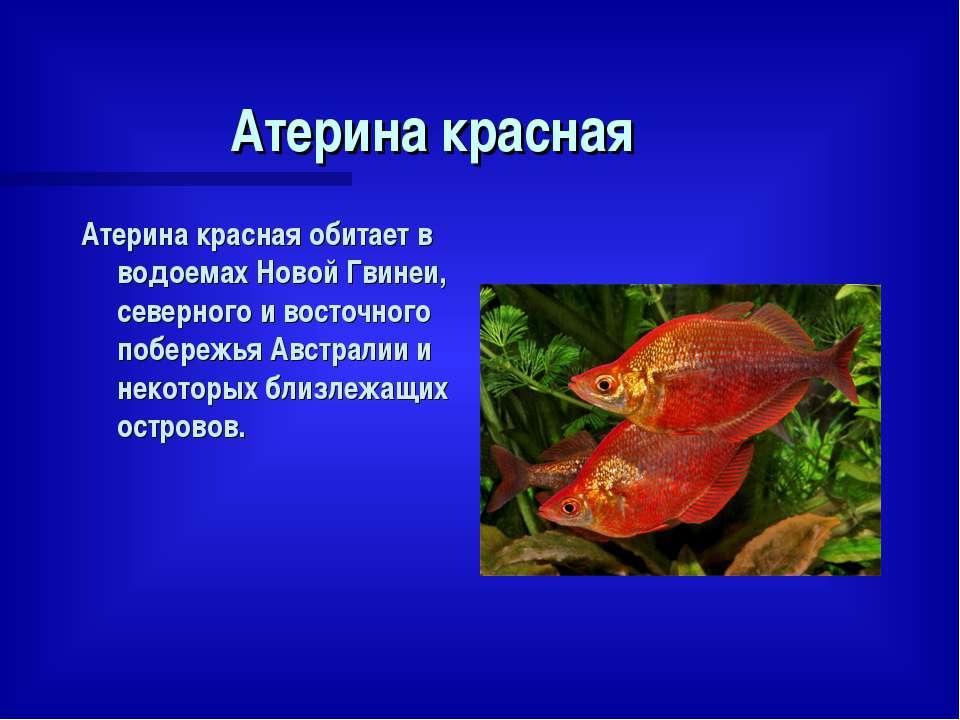 Атерина красная Атерина красная обитает в водоемах Новой Гвинеи, северного и ...