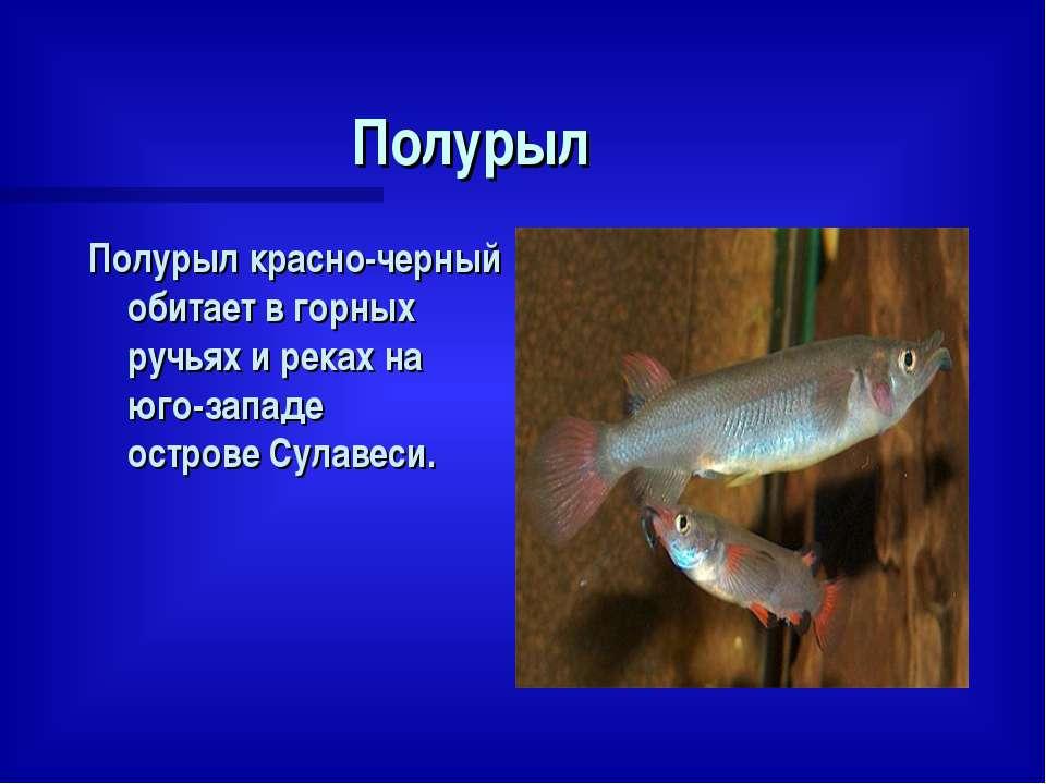 Полурыл Полурыл красно-черный обитает в горных ручьях и реках на юго-западе о...