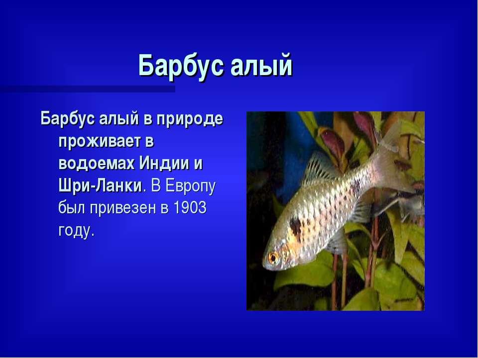 Барбус алый Барбус алый в природе проживает в водоемах Индии и Шри-Ланки. В Е...