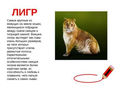 ЛИГР Самые крупные из живущих на земле кошек, являющиеся гибридом между львом...