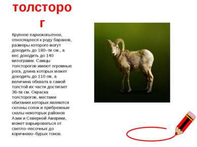 толсторог Крупное парнокопытное, относящееся к роду баранов, размеры которого...
